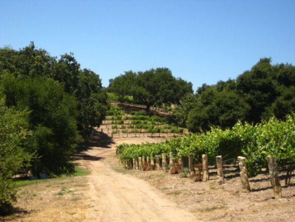 Oak Savanna Vineyard