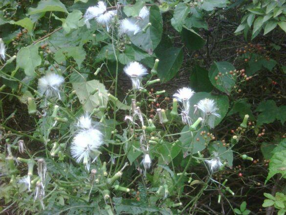 East Hampton weeds