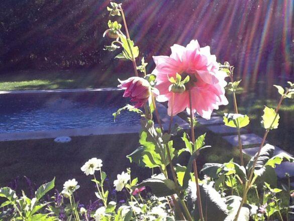 Dahlia in afternoon sun