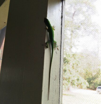 Foshalee Lizard