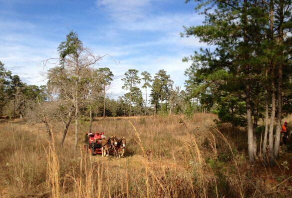 Quail hunting at Foshalee Plantation
