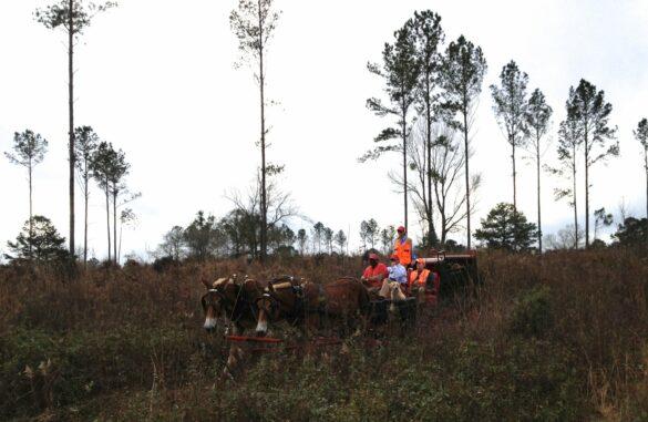 Quail hunting on Foshalee Plantation