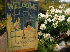 Acres of Roses--A Field Trip to Rose Story Farm