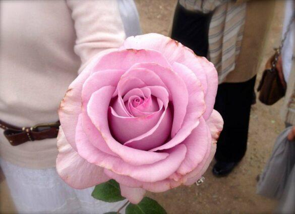Rose Story Farm
