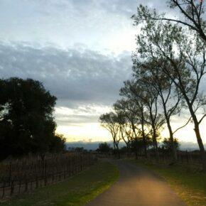 Late afternoon in the vineyard, Rancho la Zaca