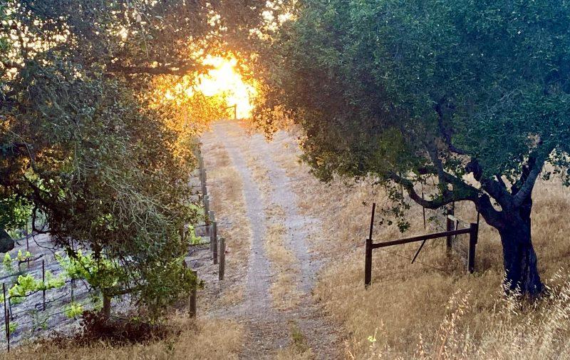 Light on the horizon, vineyard at Rancho La Zaca
